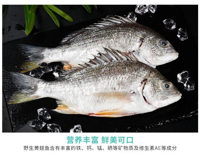 野生黄翅鱼